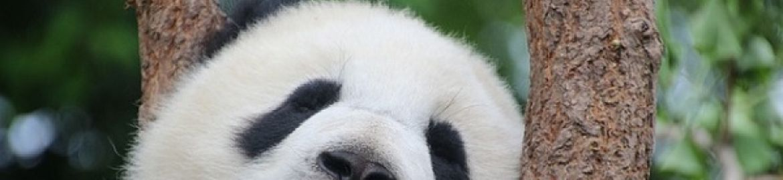 Alla scoperta del panda. Alcune curiosità!